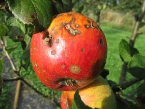 apple-455436_640
