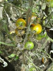 tomato-608290_1280