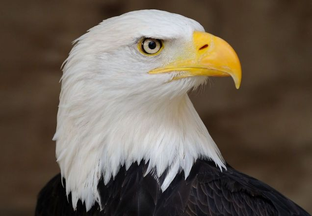 Bald_Eagle_Profile_Portrait_2